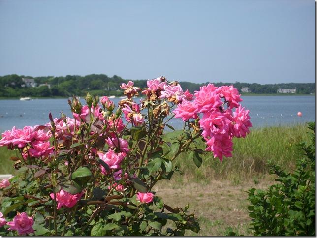Salt Spray Roses