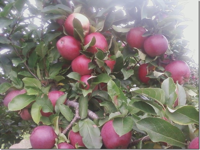 09 17 2011 macs for the picking