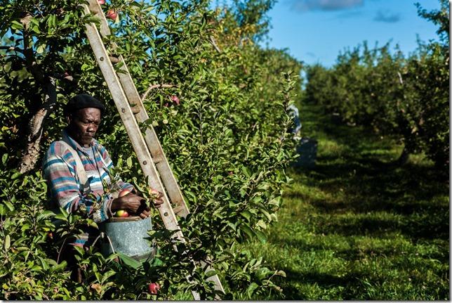 NYT Apple pickers Melvin Samuels IAN THOMAS JANSEN-LONNQUIST FOR THE NEW YORK TIMES