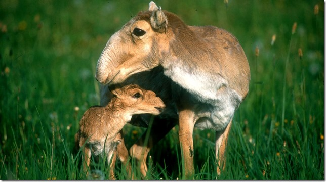 NYT Saiga Mother and Calf Rich Reading via the NYT