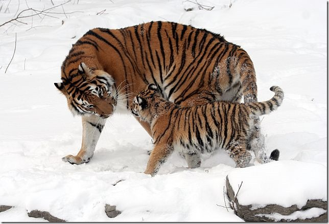 Zoo Siberian Tigers Buffalo Zoo Wiki