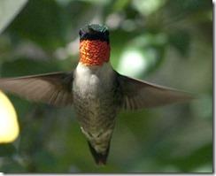 Hummingbird Michael Hogan All About Birds