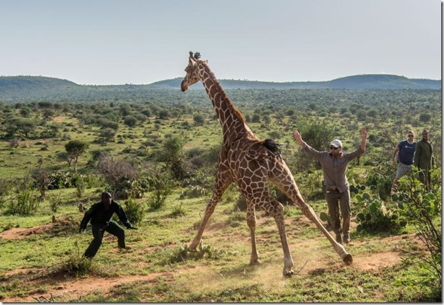 National Geographic Giraffe Release Ami Vitale NG