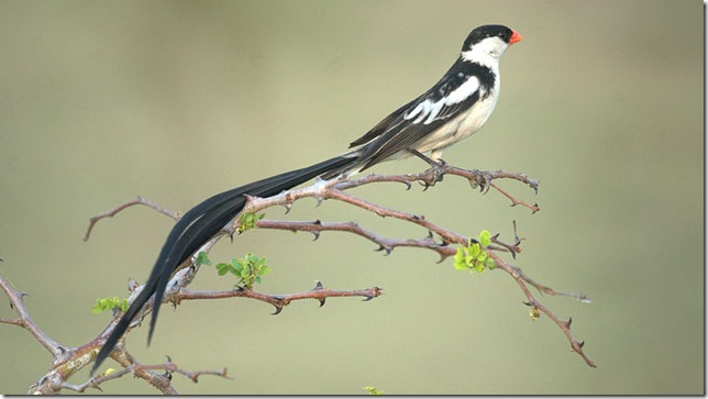 Birds pin tail whydah NJ Birds Wikipedia