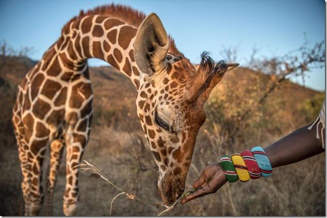 National Geographic Giraffe Orphan Ami Vitale NG