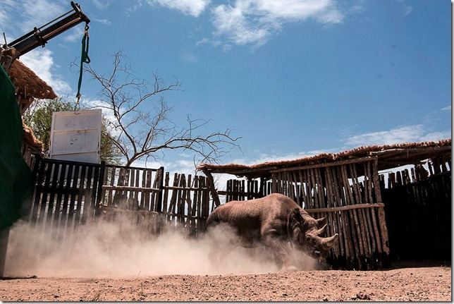 Rhino Black rhino released in Chad Kyle de Nobrega African Parks via AP via NYT