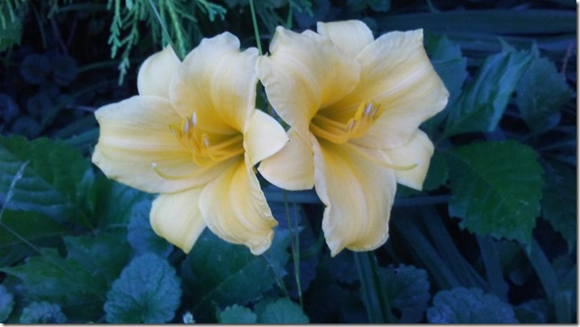 2018 06 26 Our day lilies
