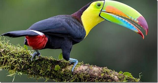 Birds Keel billed toucan American Bird Conservancy