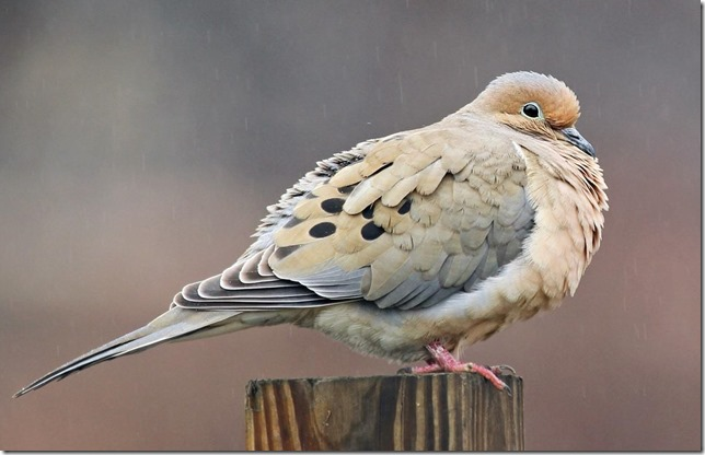 Birds Mourning Dove All About Birds