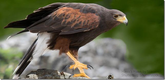 Birds Harris Hawk by Scenic Shutterbug Shutterstock via American Bird Conservancy