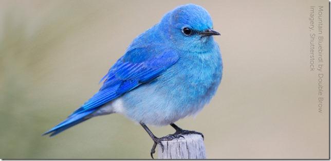 Birds Mountain Bluebird Doublebrow Imagery via American Bird Conservancy