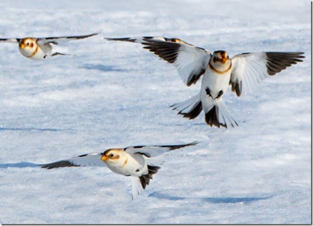 Birds Snow Buntings via American Bird Conservancy