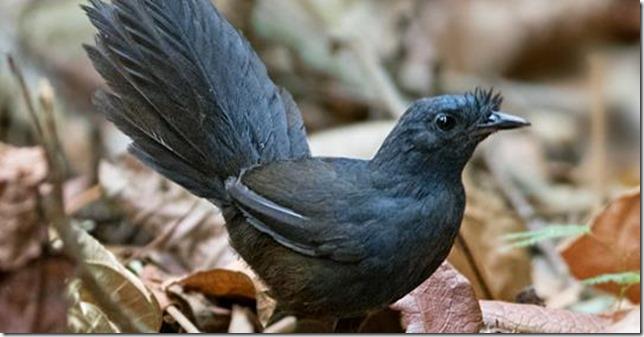 Birds Stresemanns Bristlefront via American Bird Conservancy