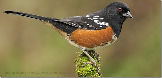 Birds Spotted Towhee Tim Zurowski Shutterstock via American Bird Conservancy