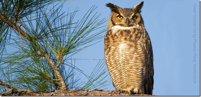 Birds Great Horned Owl by Phaeton Place Shutterstock via American Bird Conservancy