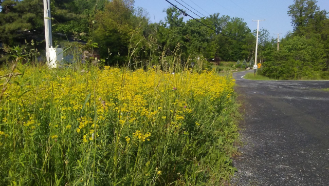 2019 05 31 Route 32 Field of yellow 2