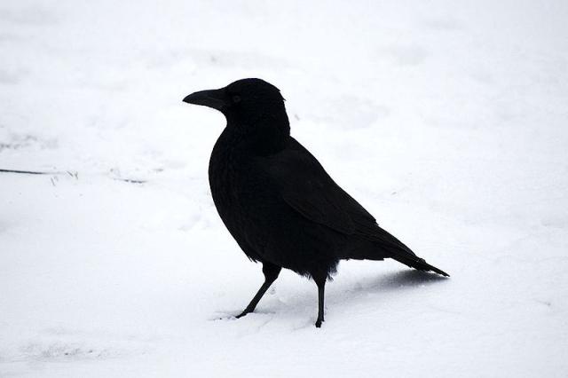 Birds Crow in the snow via Wikipedia