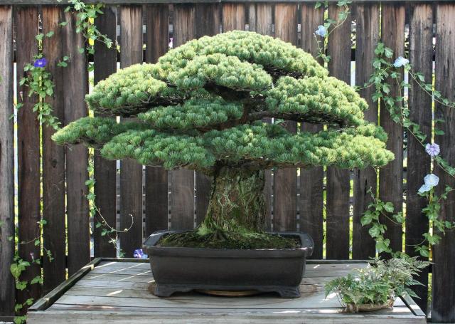 Hiroshima bonsai tree that survived the bomb US Arboretum via Smithsonian
