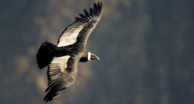Birds Andean Condor ABC