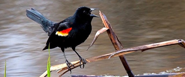 Birds Red Winged Blackbird Wild About Birds