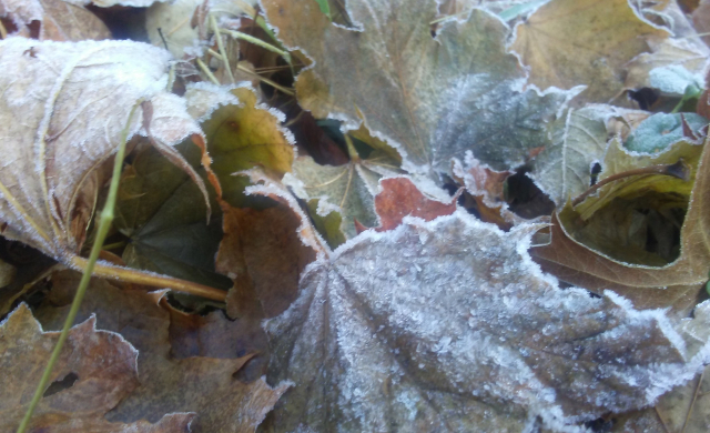 2019 11 26 Frosted leaves - Edited
