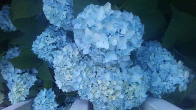 2019 07 15 Mrs Ms bluest hydrangeas 1