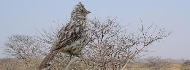 Birds Peruvian Plantcutter (female) and habitat by Jean Paul Perret and Dan Lebbin via ABC