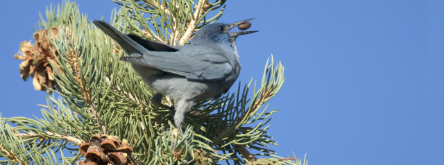 Birds Pinyon Jay with nut copyright Marie Read via ABC
