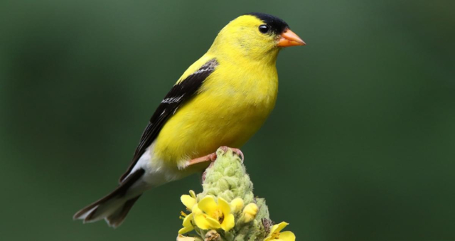 Birds American Goldfinch perching on mullein Gary Fairhead All About Birds Cornell