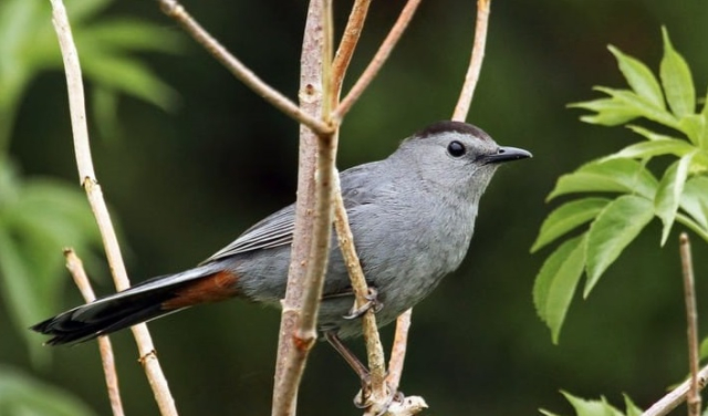 Birds Grey Catbird Ryan Schain Macaulay Library via Cornell Lab of Ornithology