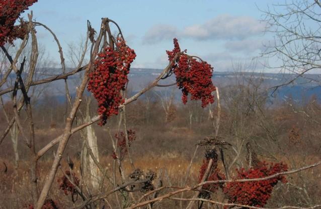 2008 11 17 November 03 Sumac berries - Edited