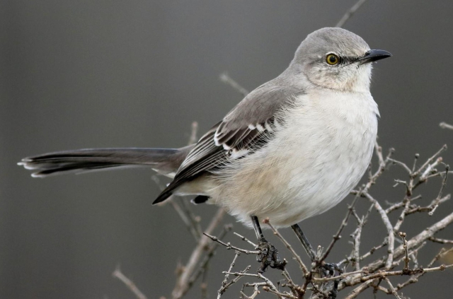 Birds Northern Mockingbird Copyrighted photo by Jay McGowan Macauly Library via Cornell Lab - Edited