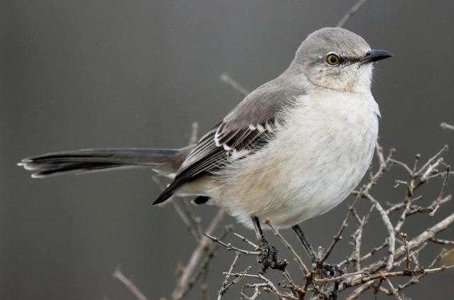 Birds Northern Mockingbird Copyrighted photo by Jay McGowan Macauly Library via Cornell Lab - Edited