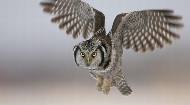 Birds Northern Hawk Owl Paul Rossi Michigan State U - Edited