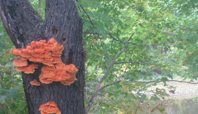 2020 09 30 Bracket Fungi by the river 3 - Edited