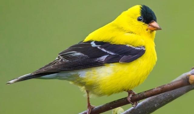 Birds Goldfinch Adam Jackson Macaulay Library via Cornell All About Birds - Edited
