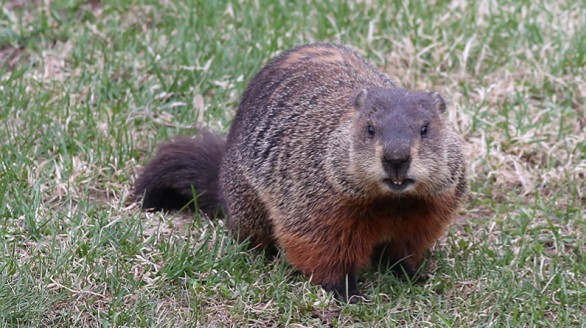 Animals Woodchuck taking notice via Naturally Curious - Edited