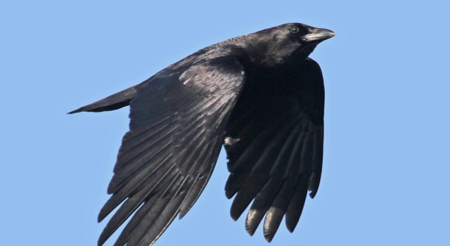 Birds American Crow in flight somewhere in MA 3 11 12 Ryan Schain Macaulay Lib via Cornell Lab - Edited
