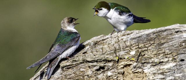 Birds Violet Green Swallow mother feeding fledgeling Bob Gunderson ABC