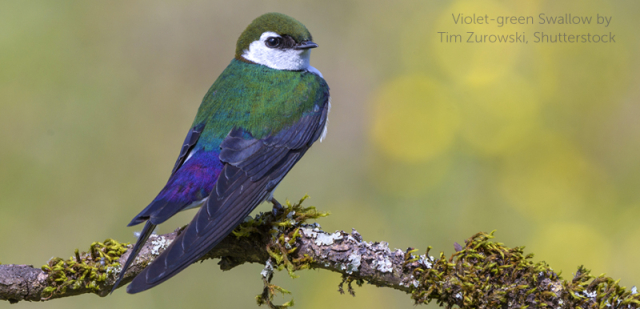 Birds Violet Green Swallow Sky Elf Tim ZurowskiABC