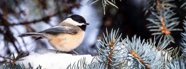 Birds Black Capped Chickadee FotoSeach Shutterstock ABC