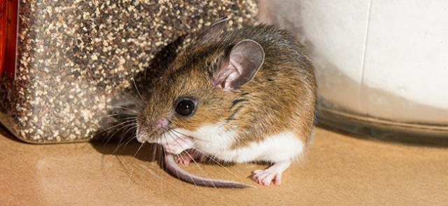 Mammal House Mouse stock image of house mouse in a pantry