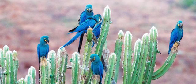 Birds Lears Macaws flock on cacti Maggie Forrester ABC
