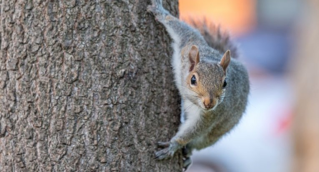 Mammals Eastern Gray Squirrel with attitude stock image various soursces - Edited