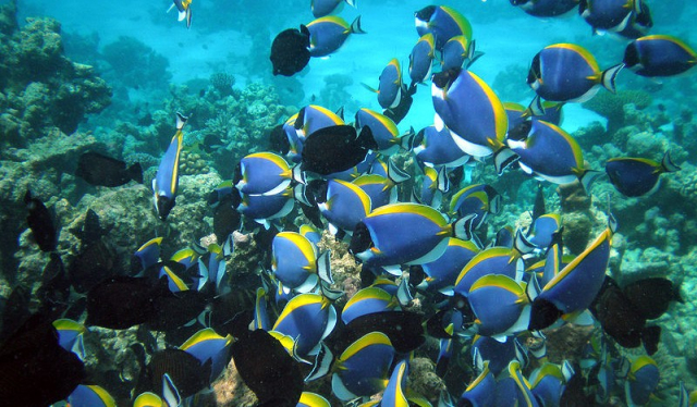 Animals Fish School of Surgeonfish Acanthurus eucosternon via Wikipedia - Edited