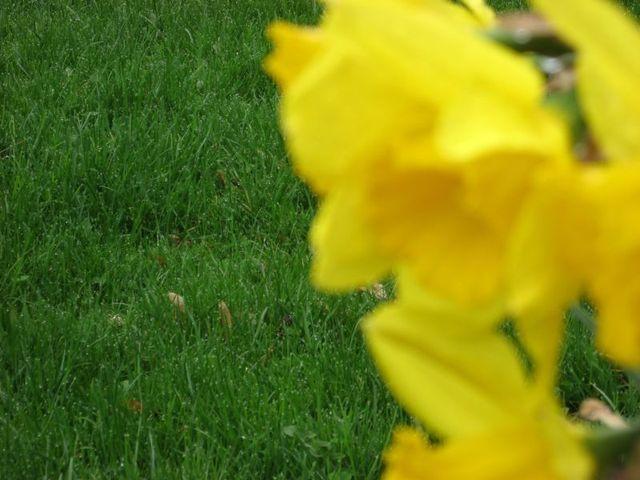 Daffodil_06
