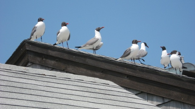 Laughing_gulls_01