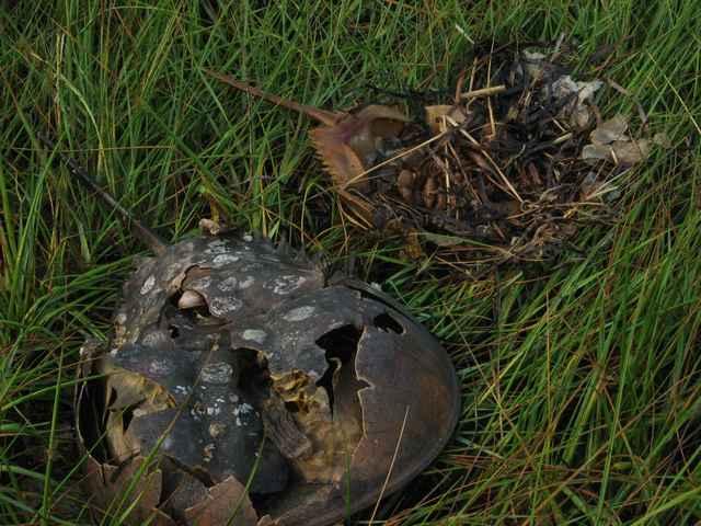 Horseshoe_crabs_03b