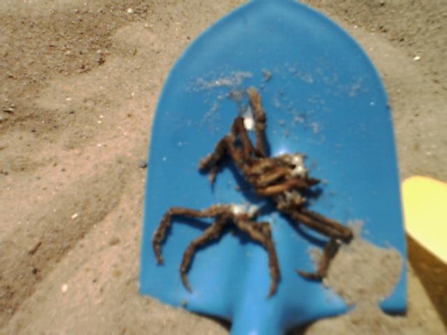 Spider_crab_01